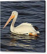 American White Pelican Paddling Canvas Print