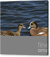 American Widgeon Pair Canvas Print