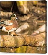 American Wigeon Canvas Print