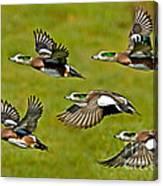 American Wigeon Drakes Canvas Print