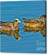 American Wigeon Pair Swimming Canvas Print