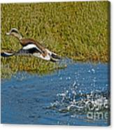 American Wigeon Taking Off Canvas Print