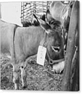 Amish Donkey At Action Canvas Print