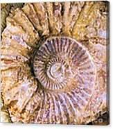Ammonite Fossil Canvas Print