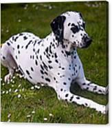 Among The Daisies. Kokkie. Dalmation Dog Canvas Print
