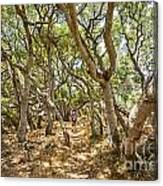 Among The Trees - The Mysterious Trees Of The Los Osos Oak Reserve Canvas Print