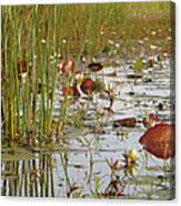 Among The Waterlillies 2 Canvas Print