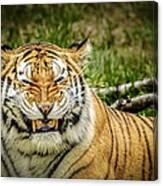 Amur Tiger Smile Canvas Print