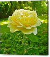 Amy's Texas Yellow Rose Canvas Print