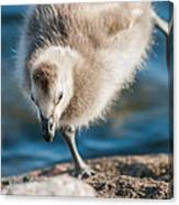 An Acrobatic Goose Canvas Print