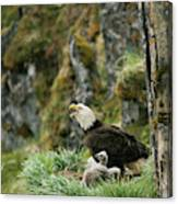 An American Bald Eagle And Chicks Canvas Print