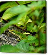 An Angry Anole Canvas Print
