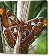 An Atlas Moth  Canvas Print