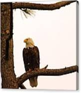 An Eagle Day Dreaming Canvas Print
