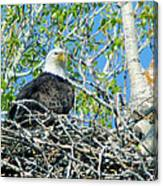 An Eagle In Its Nest  Canvas Print