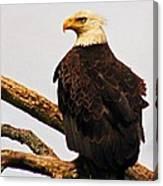 An Eagle's Perch Canvas Print