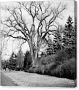 An Elm Tree At The Side Of A Road Canvas Print