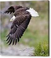 An Female Eagle Flys Protectively Over Canvas Print