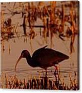 An Ibis Feeding Canvas Print