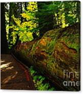 An Old Fallen Tree Canvas Print