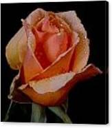 An Orange Rose Canvas Print
