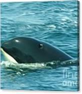 An Orca Surfaces  Canvas Print