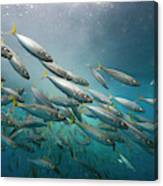 An Underwater View Of Schooling Fish Canvas Print