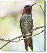Ana Hummingbird Canvas Print