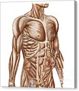Anatomy Of Human Abdominal Muscles Canvas Print