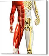 Anatomy Of Male Body With Half Skeleton Canvas Print