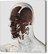 Anatomy Of Male Facial Muscles, Side Canvas Print