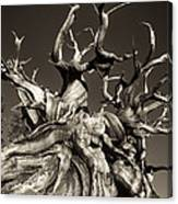 Ancient Bristlecone Pine In Black And White Canvas Print