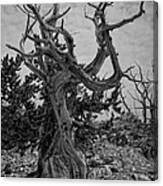 Ancient Bristlecone Pine Canvas Print