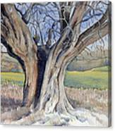 Ancient English Tree Canvas Print