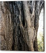 Ancient Old Fine Olive Tree 6 Mountain Spain  Canvas Print
