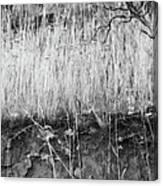 Ancient Sagebrush 2 Canvas Print