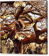 Ancient Wiliwili Tree Canvas Print