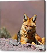 Andean Fox Portrait Canvas Print