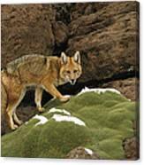 Andean Red Fox Altiplano Bolivia Canvas Print