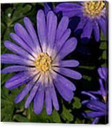 Anemone Blanda Blue Canvas Print