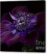 Anemone Coronaria De Caen Canvas Print