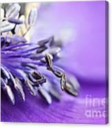 Anemone Flower Close Up Canvas Print