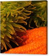 Anenome And Starfish Canvas Print