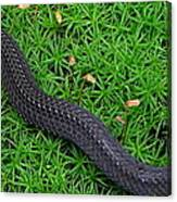 Anerythristic Red Belly Snake Canvas Print