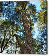 Angeles Sun -beautiful Tree With Sunburst In Angeles National Forest In The San Gabriel Mountails Canvas Print