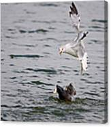 Angry Gull Canvas Print