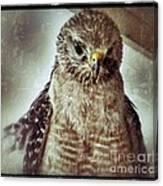 Angry Hawk Canvas Print