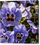 Angry Pansy Canvas Print