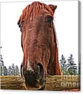 Angry Stallion Canvas Print