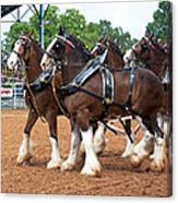 Anheuser Busch Budweiser Clydesdale Horses In Harness Usa Rodeo Canvas Print